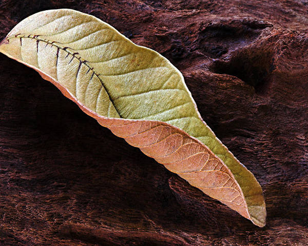 Leaf Poster featuring the photograph Leaf On Log- St Lucia by Chester Williams