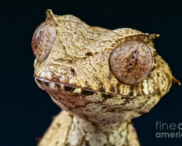 Satanic Leaf-tailed Gecko Poster featuring the photograph Leaf-tailed Gecko by Reptiles4all