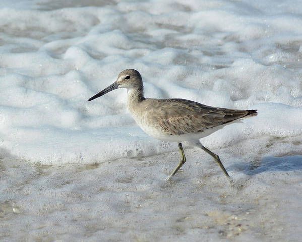 Least Sandpiper Poster featuring the pyrography Least Sandpiper at Stump Pass by Sally Sperry