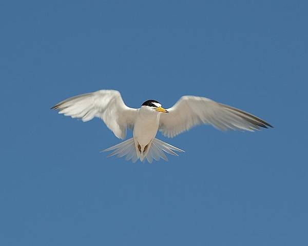 Bird Poster featuring the photograph Least Tern 2 by Kenneth Albin