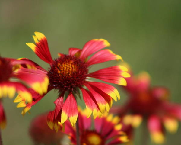 Coneflower Poster featuring the photograph Lemon Yellow and Candy Apple Red Coneflower by Colleen Cornelius