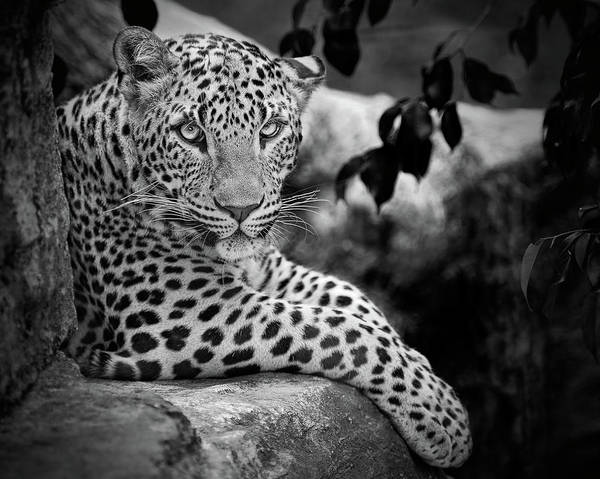 Horizontal Poster featuring the photograph Leopard by Cesar March