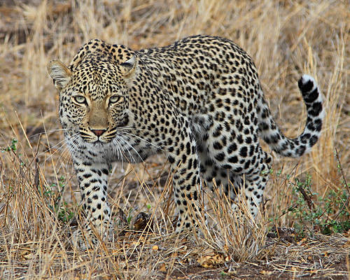 Leopard Poster featuring the photograph Leopard by Tamar Toerien