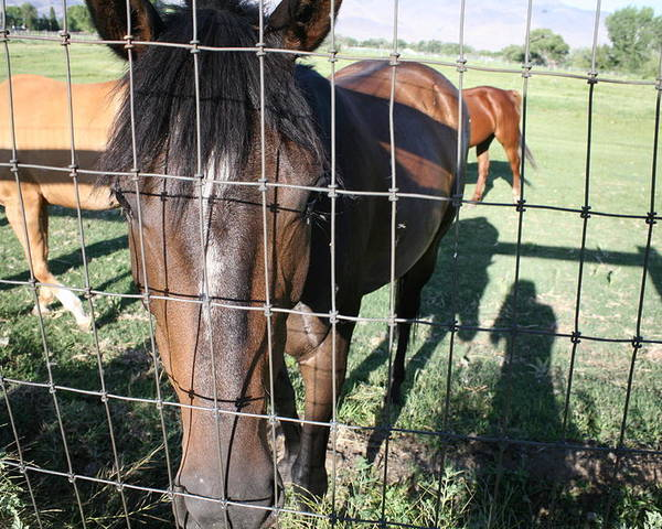 Horses Poster featuring the photograph Let Me Out by Kelly Schuler