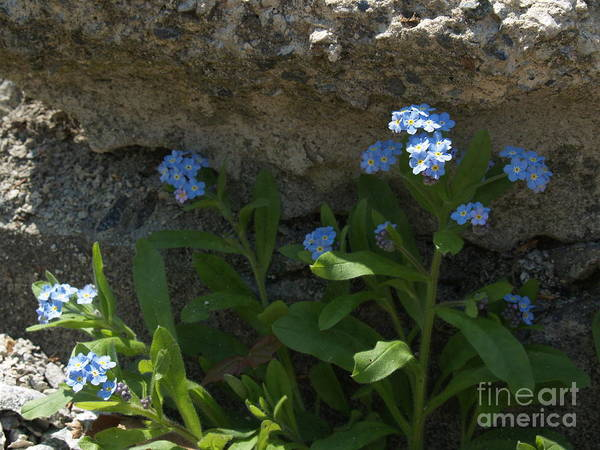 Forget-me-nots Poster featuring the photograph Life Will Prevail by Anna Lisa Yoder