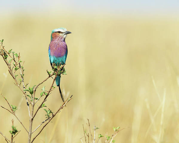 Horizontal Poster featuring the photograph Lilac-breasted Roller (coracias Caudata) by Elliott Neep