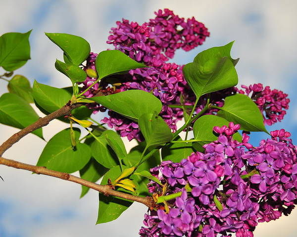 Flower Poster featuring the photograph Lilacs by Catherine Reusch Daley