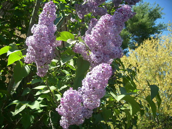 Lilac Lilacs Florals Flowers Poster featuring the photograph Lilacs by Lisa Roy