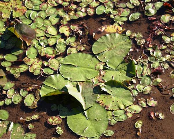 Nature Poster featuring the photograph Lilly Pads by Lisa Johnston