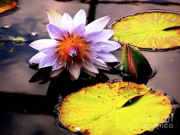 Lillypad Poster featuring the photograph Lillypad In Bloom by Chad Kroll