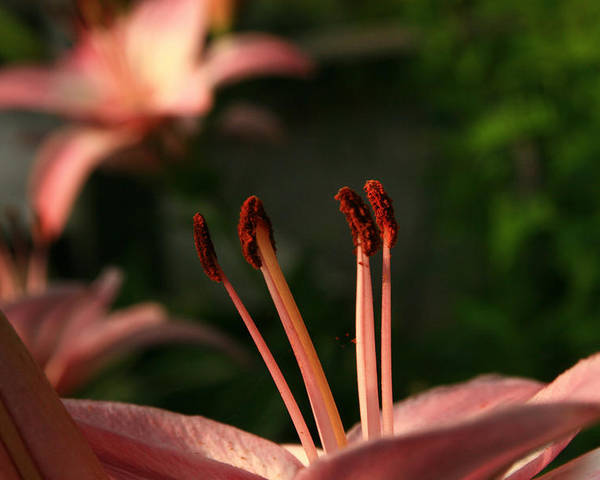 Lily Poster featuring the photograph Lily Closeup by Roger Soule