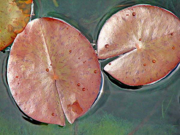 Lily Pads Poster featuring the photograph Lily Pads 1 by Diana Douglass