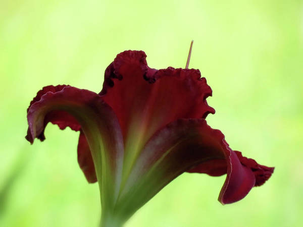Indy Rhapsody Daylily Poster featuring the photograph Lily Red On Green by MTBobbins Photography