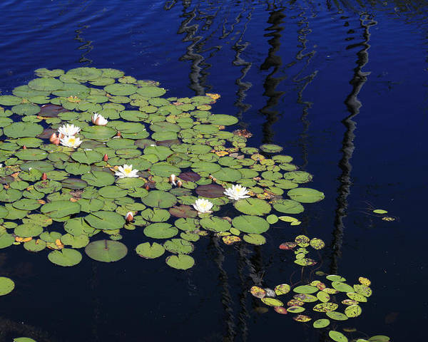 Lilypads Poster featuring the photograph Lily Worlds One by Alan Rutherford