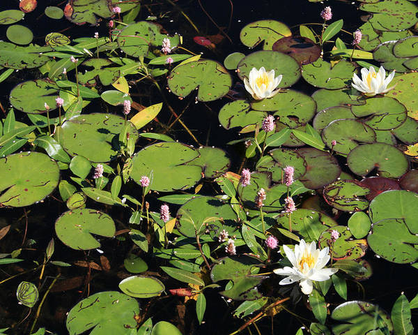 Lilypads Poster featuring the photograph Lily Worlds Two by Alan Rutherford