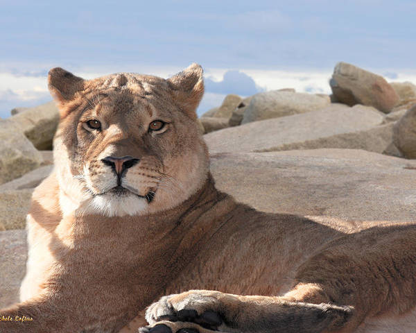 Female Poster featuring the photograph Lion by Michele A Loftus
