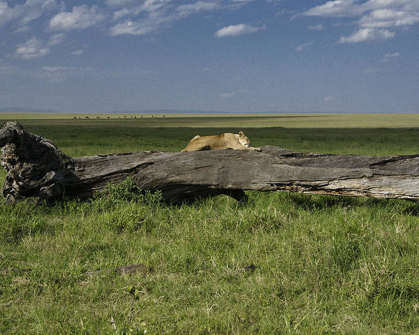 Africa Poster featuring the photograph Lion on a Log by Michele Burgess