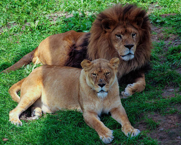 Lion Poster featuring the photograph Lion Pair by Ajit Vikram