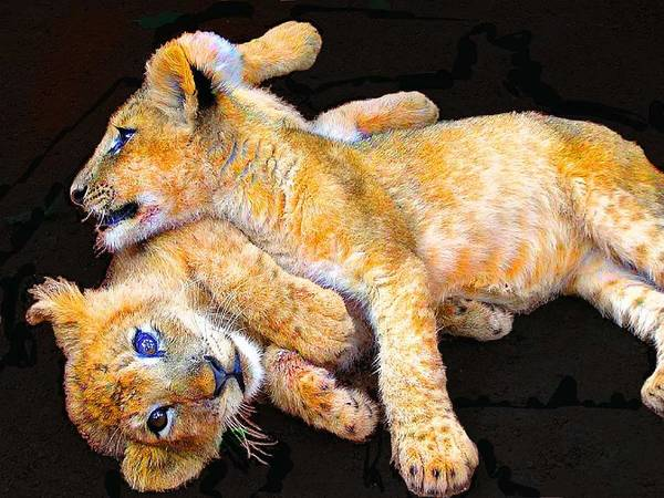 Lion Poster featuring the photograph Lion Wrestling by Michael Durst