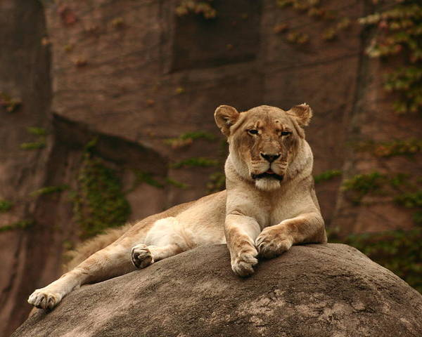 Lioness At Lincoln Park Zoo Chicago Poster featuring the photograph Lioness by B Rossitto