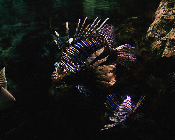 Fish Poster featuring the mixed media Lionfish by Pati Photography