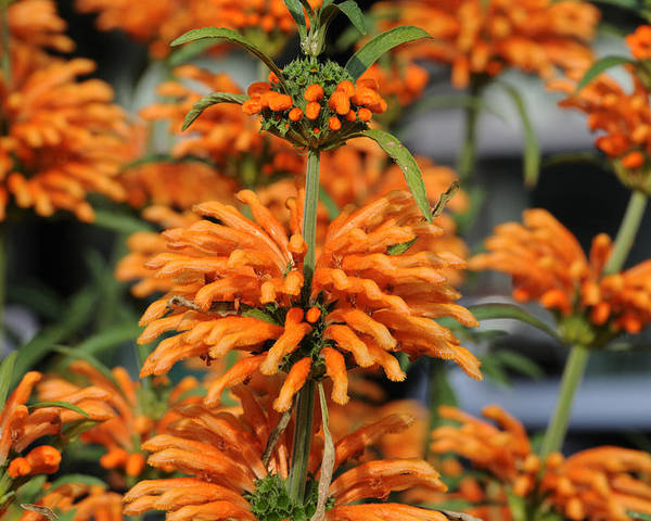 Orange Poster featuring the photograph Lion's Ear by Terese Loeb Kreuzer