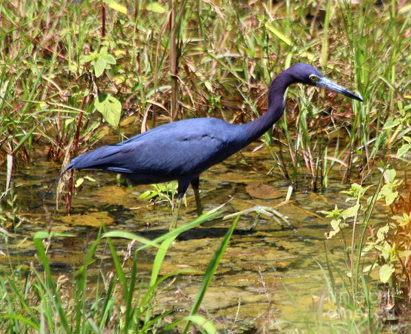 Little Blue Heron Non-breeding Adult Poster featuring the photograph Little Blue Heron by Irina Hays