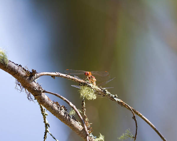 Dragonfly Poster featuring the photograph Little Dragonfly by Gary Smith
