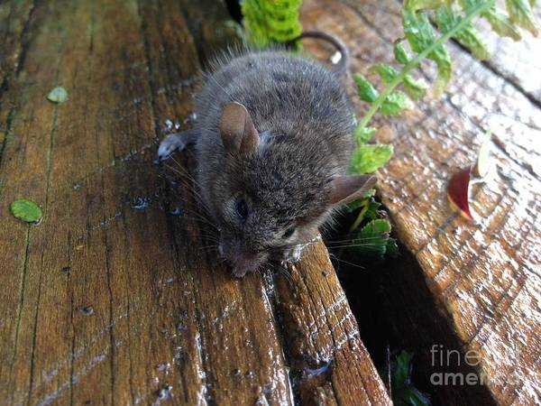 Mouse Poster featuring the photograph Little 'mighty Mouse' by Karen Moren