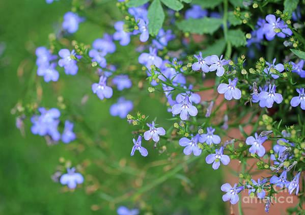 Blue Poster featuring the photograph Lobelia Flowers by Karen Adams