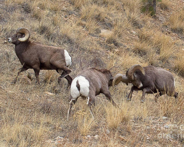 Bighorn Sheep Poster featuring the photograph Loco Motion by Jim Garrison