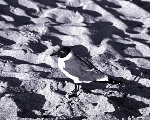 Beach Poster featuring the photograph Lone Seagull by Gary Dean Mercer Clark