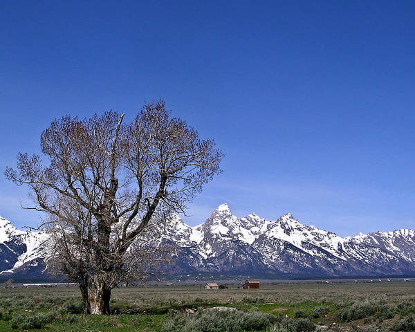 Tree Poster featuring the photograph Lone Tree At Tetons by Douglas Barnett