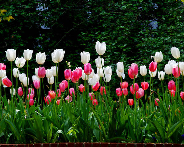Tulips Poster featuring the photograph Long Stem Tulips by Nancy Bradley