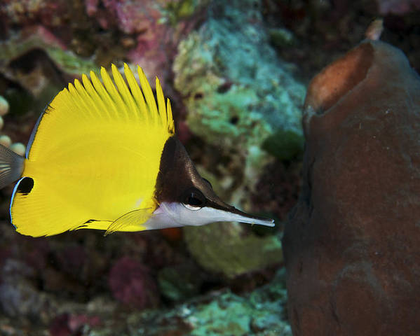 Butterfly Poster featuring the photograph Longnose Butterflyfish by Steve Rosenberg - Printscapes