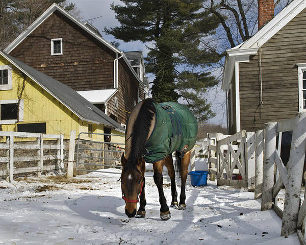 Horse Poster featuring the photograph Looking For Stray Hay by Jack Goldberg