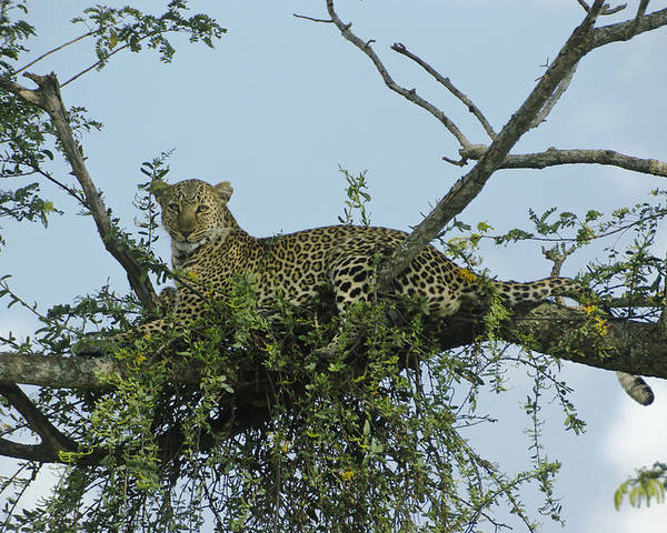 Africa Poster featuring the photograph Lounging Leopard by Michele Burgess