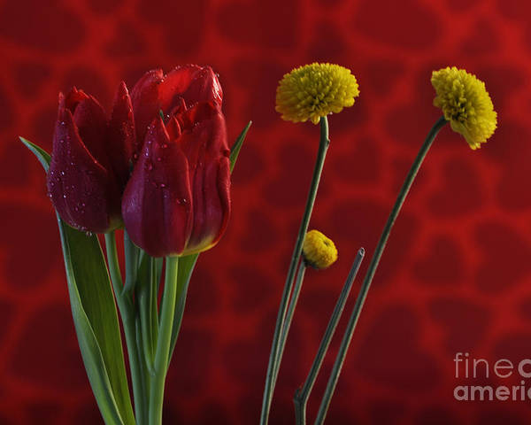 Tulip Poster featuring the photograph Love by Crystal J Harwood