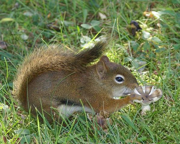 Chipmunk Poster featuring the photograph Lunch Time by Lisa Hebert