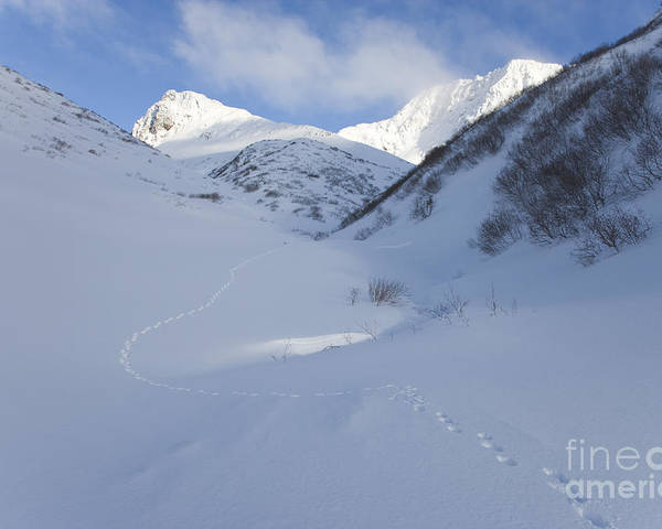 Lynx Poster featuring the photograph Lynx Tracks In A Mountain Pass by Tim Grams