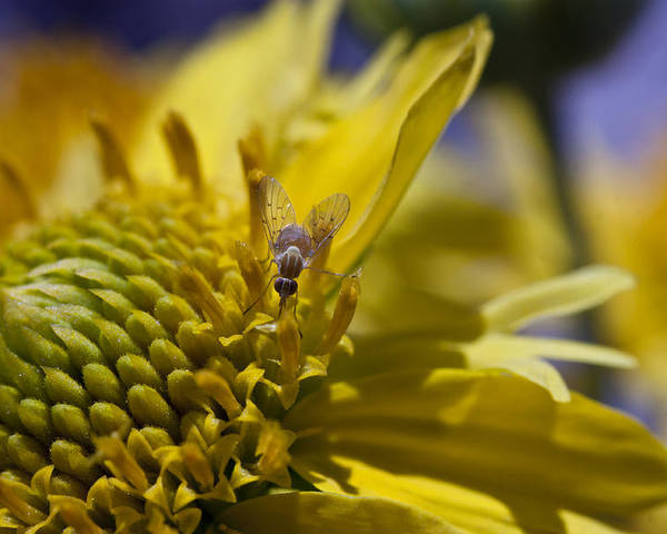 Macro Poster featuring the photograph Macro Pollinating Fly by David Eisenberg