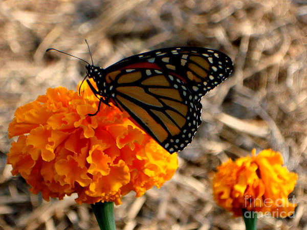 Butterfly Poster featuring the photograph Magnificent Monarch by PJ Cloud