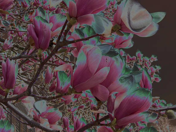 Magnolia Poster featuring the photograph Magnolia Beauty by Vijay Sharon Govender