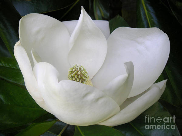 Nature Poster featuring the photograph Magnolia Unfolding by Lucyna A M Green