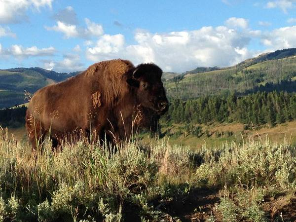 Photography Poster featuring the photograph Majestic Bison by Michelle Fairchild