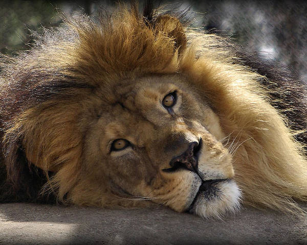 Lion Poster featuring the photograph Majestic Love by Linda Mishler