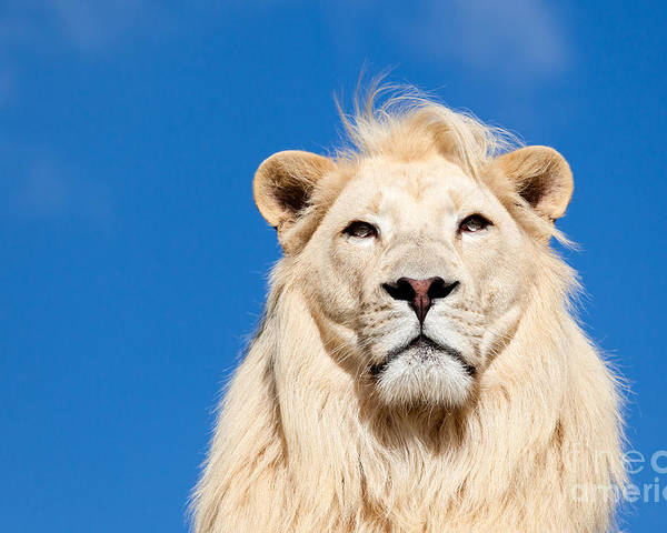 White Lion Poster featuring the photograph Majestic White Lion by Sarah Cheriton-Jones
