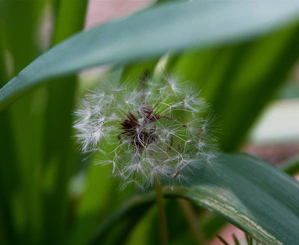 Dandelion Poster featuring the photograph Make A Wish by Kenna Westerman