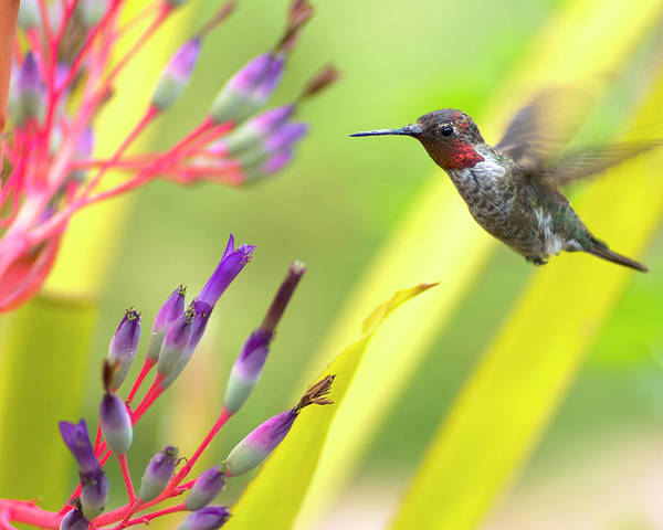 Anna's Hummingbird Poster featuring the photograph Male Anna's Hummingbird by Mike Herdering