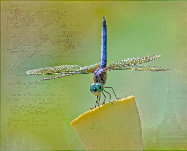 Dragonfly Poster featuring the photograph Male Blue Dasher Dragonfly by TN Fairey